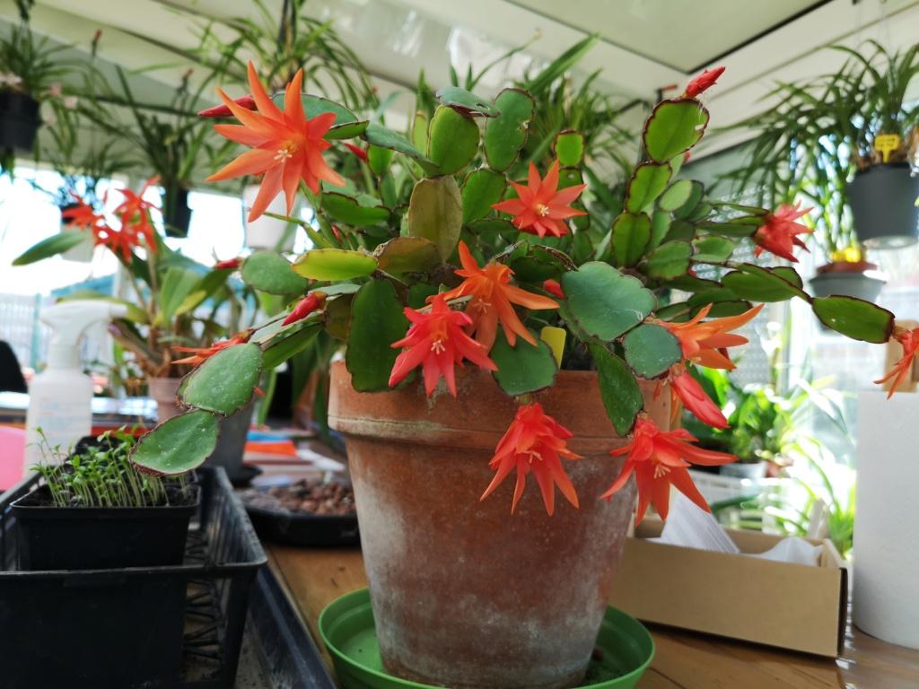 Cactus de Pâques Img_1157