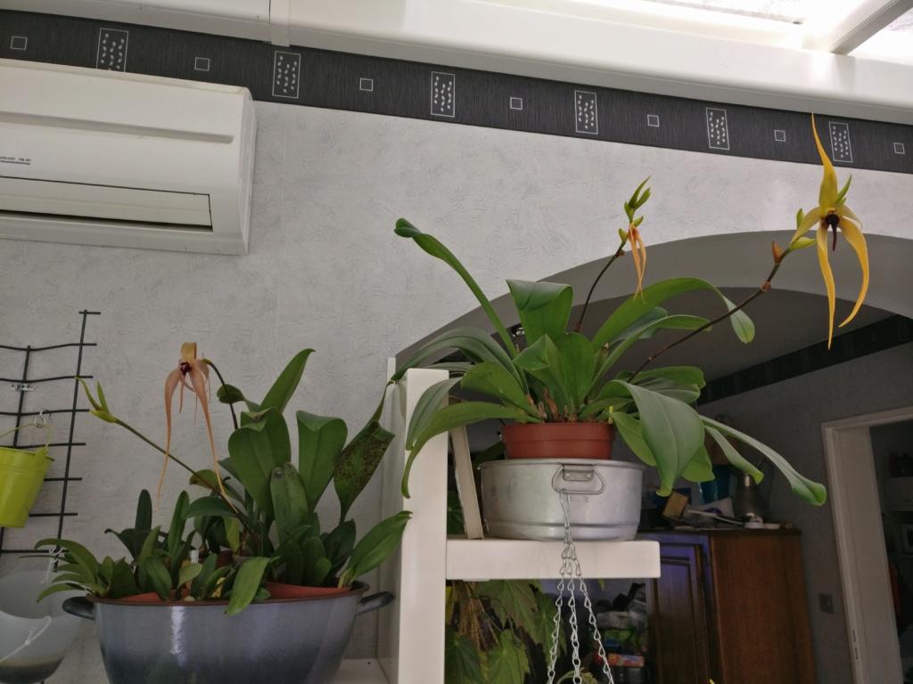 Bulbophyllum Echinolabium Img_2015