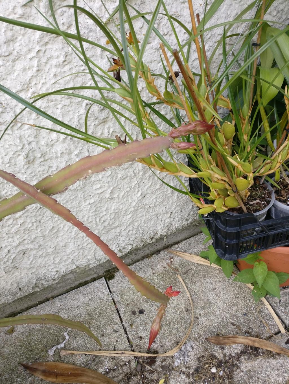 epiphyllum - Page 2 Img_2034