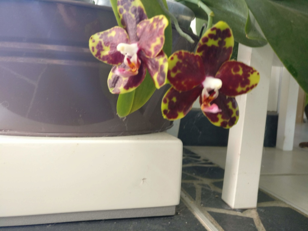 phalaenopsis Chang jhih green grape Img_2053