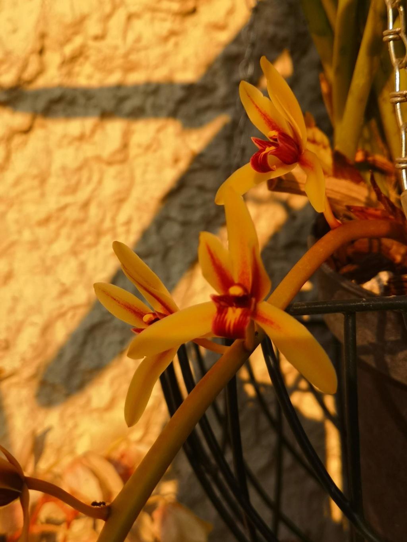 Cymbidium finlaysonianum Img_2060