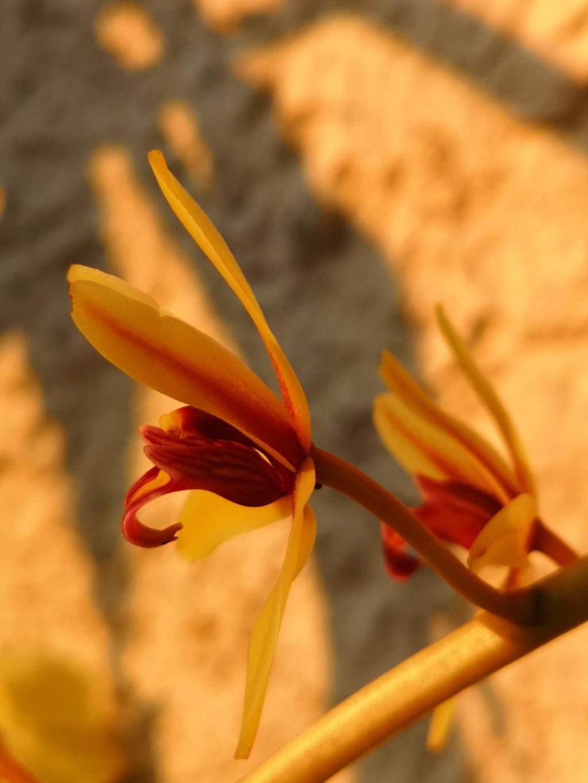 Cymbidium finlaysonianum Img_2064
