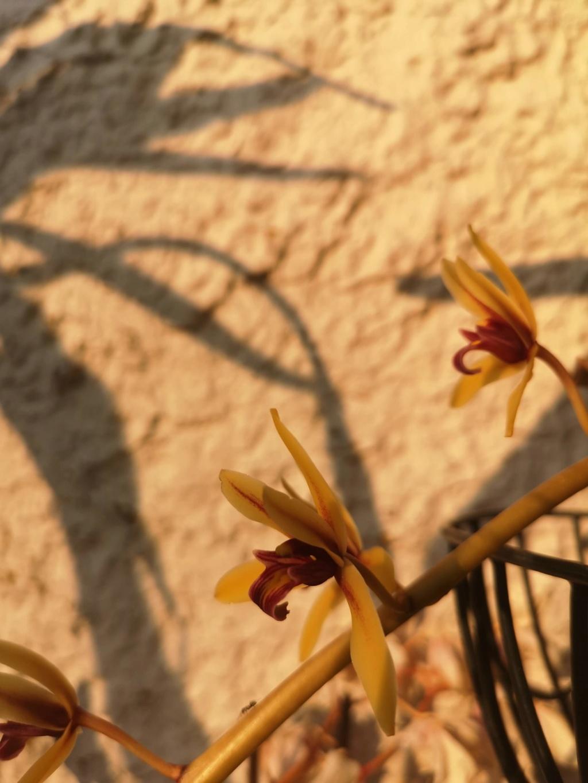 Cymbidium finlaysonianum Img_2065