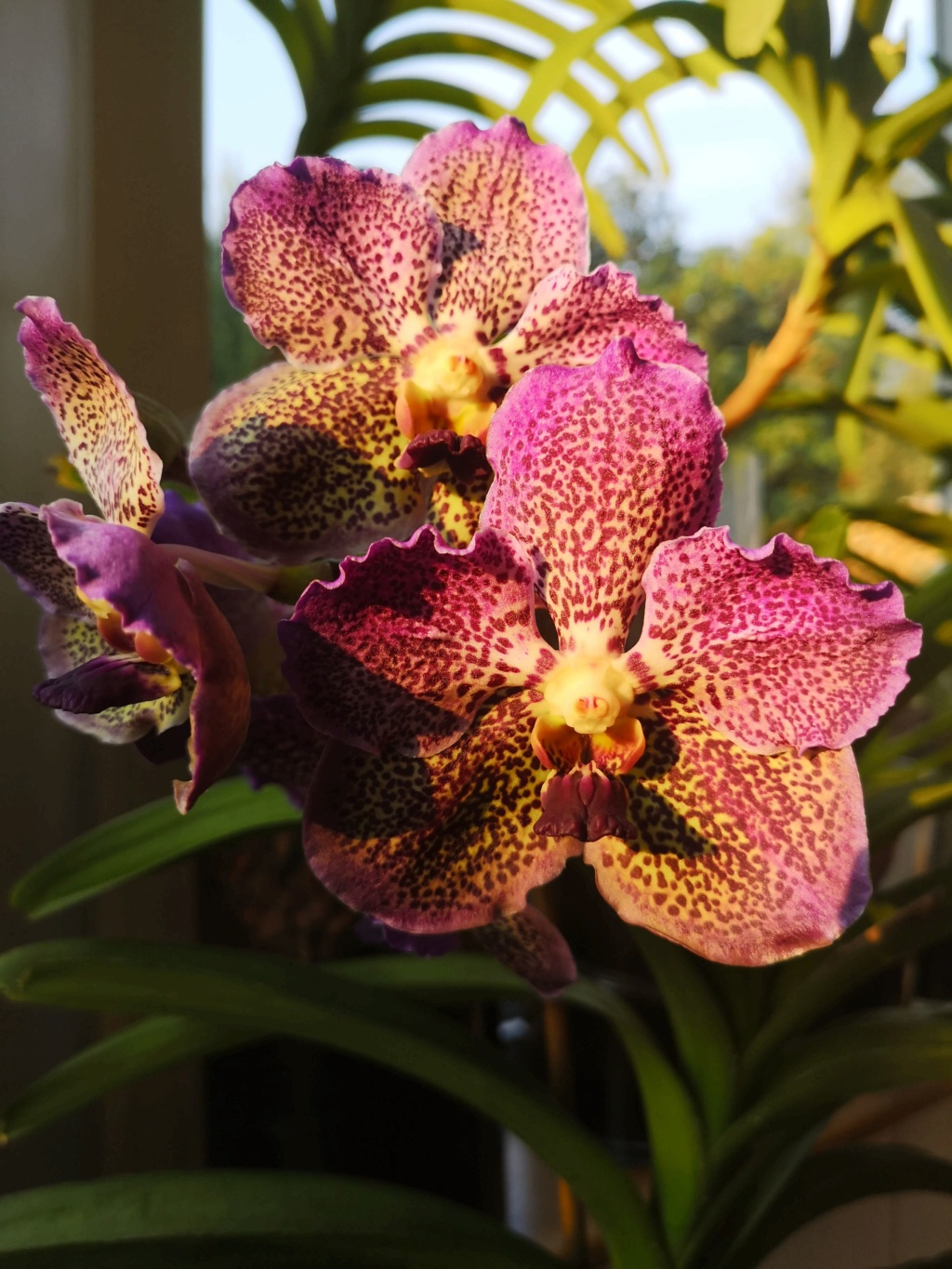 vanda moonlight blue - Page 3 Img_2070