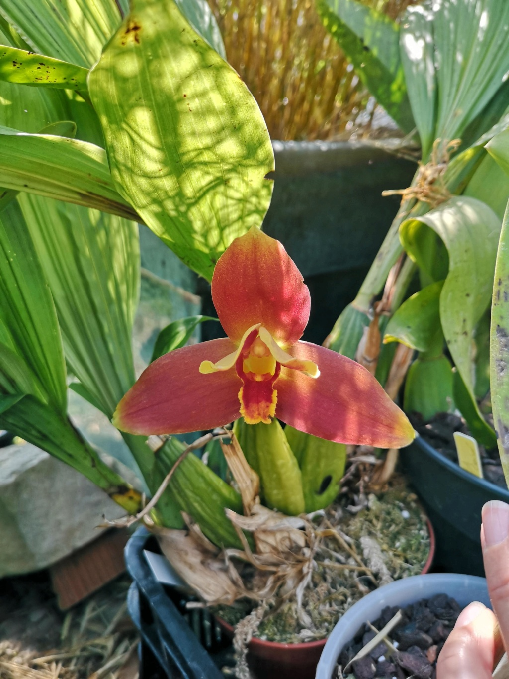 Lycaste macrophylla x Angulocaste red jewel - Page 2 Img_2108