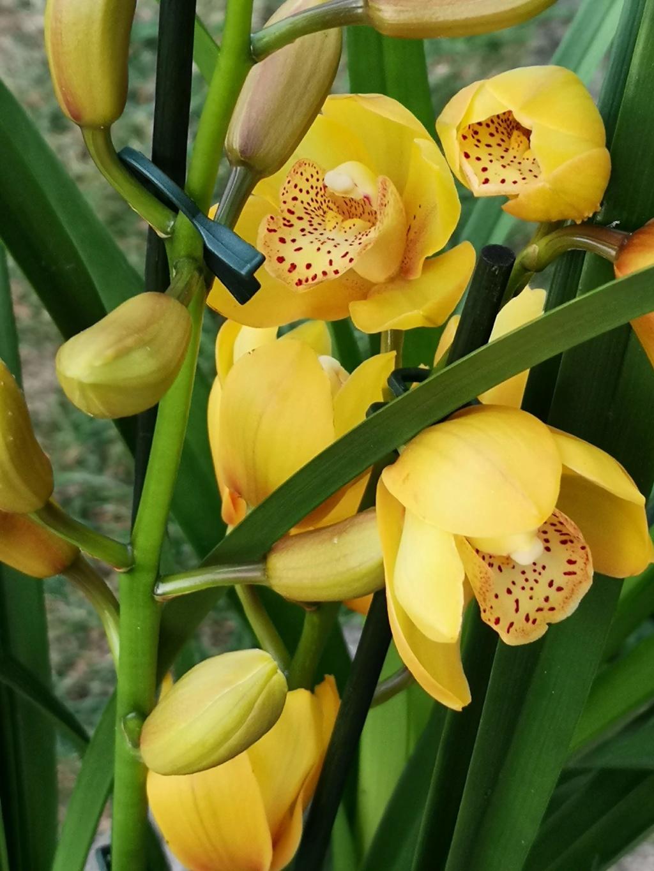 Cymbidium jaune Img_2138