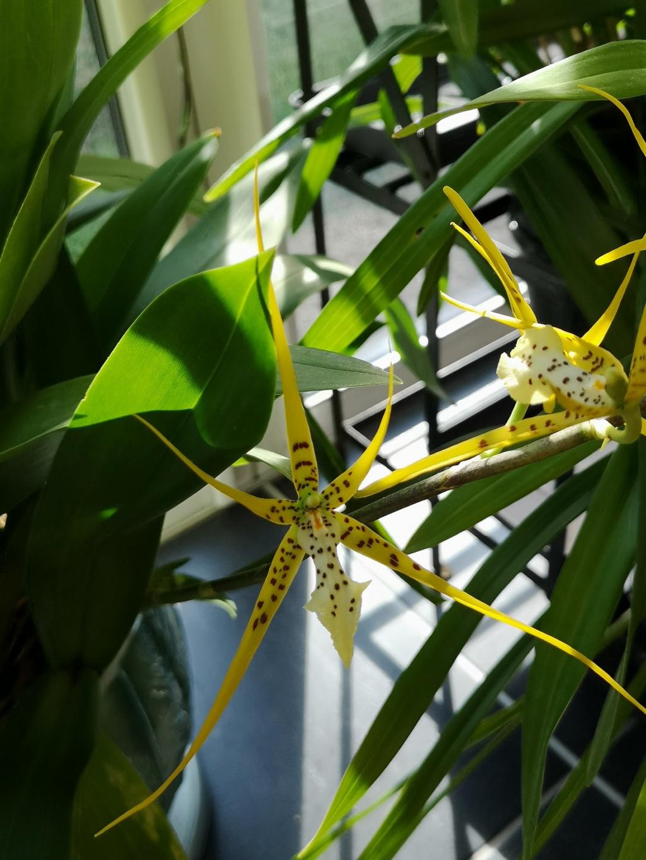 Brassia Le Magnifique Img_2189