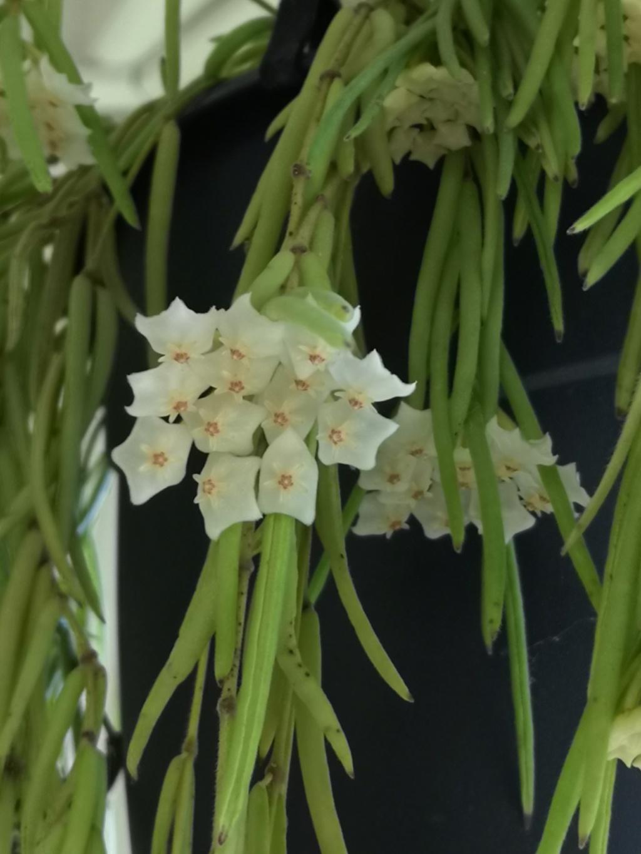 Hoya linéaris Img_2201