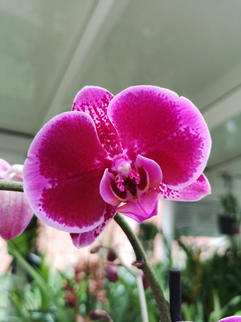 Phalaenopsis violet bordé de rose Img_2274