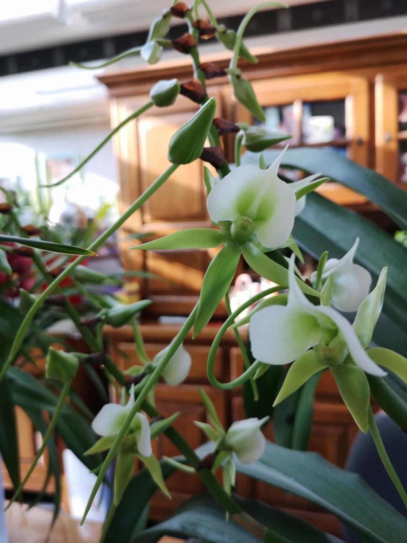 angraecum eburneum Img_2282