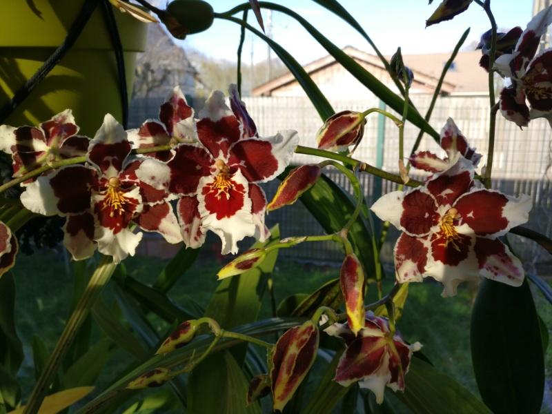 vente d'orchidées  - Page 2 Img_2325