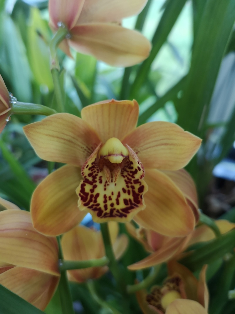 Cymbidium orange Img_2355