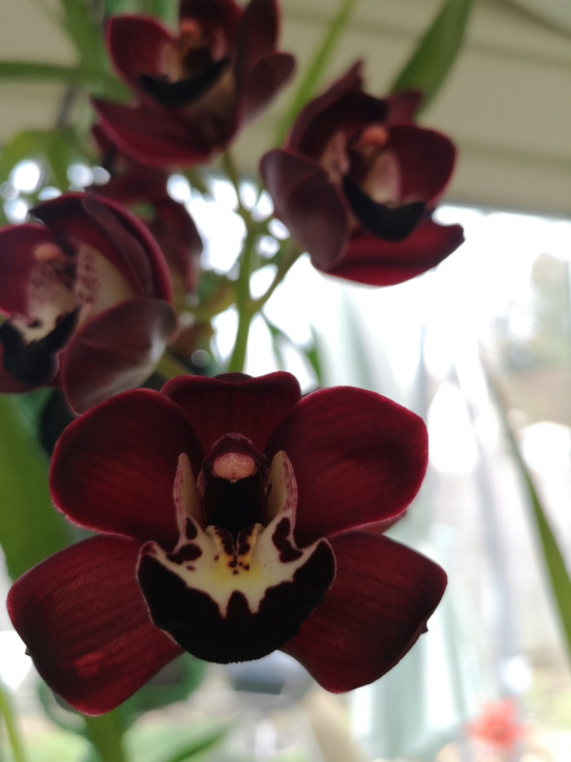 Cymbidium kiwi midnight Img_2366