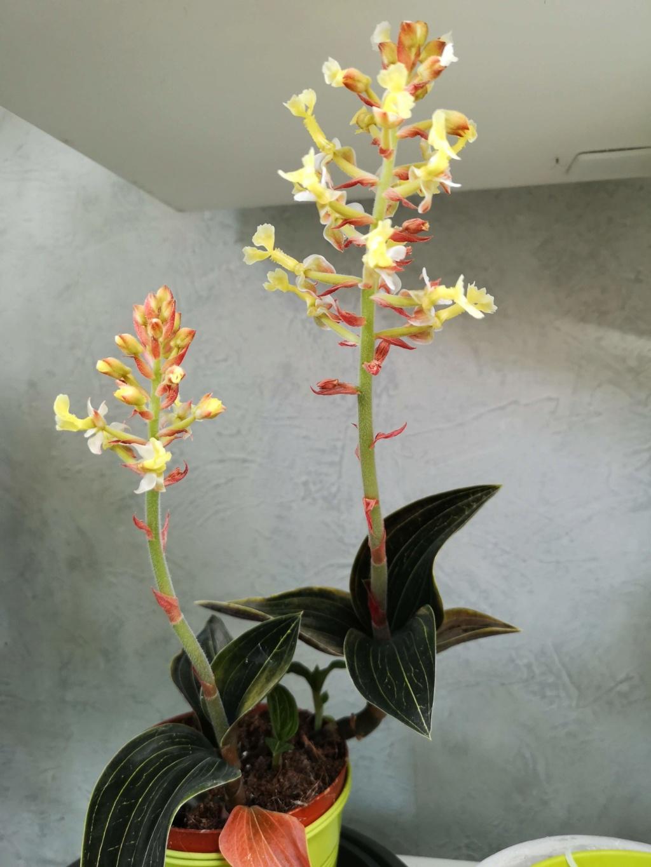 ludisia a fleur jaune Img_2371