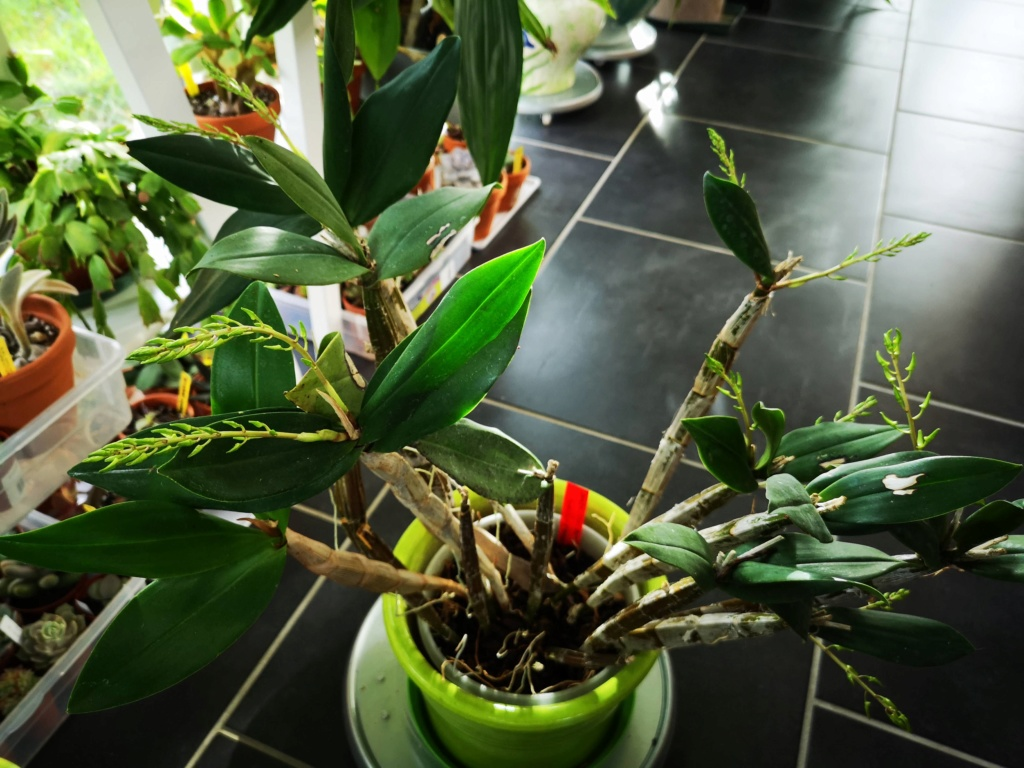 Dendrobium (speciosum x gracilicaule) x (speciosum x tetragonum) Img_2396