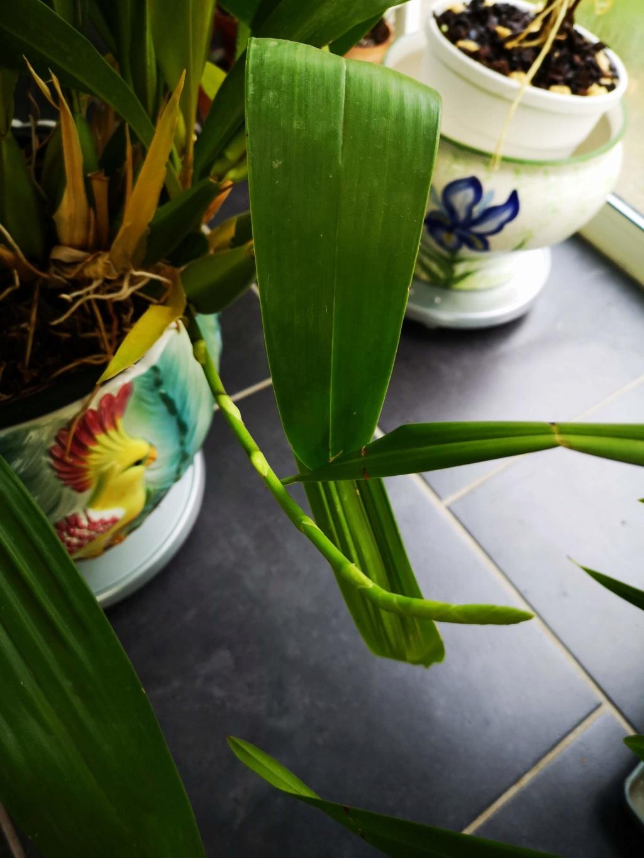 Brassia Le Magnifique Img_2398