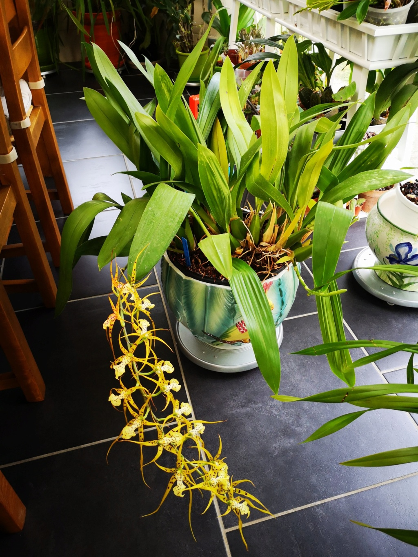 Brassia Le Magnifique Img_2399