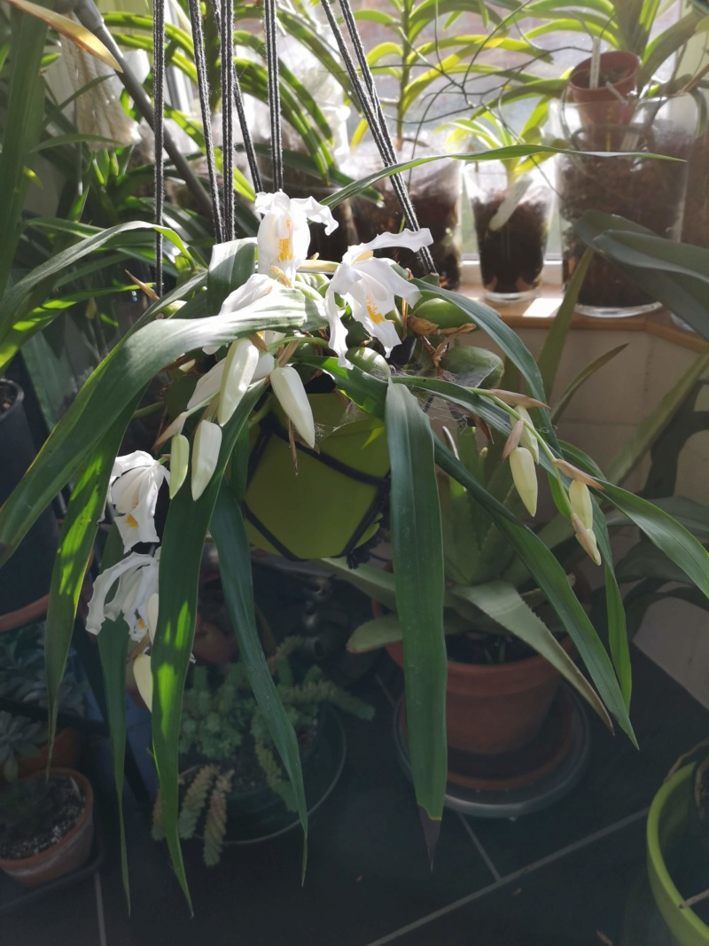 Coelogyne cristata Img_2420