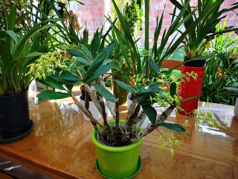 Dendrobium hybride  Img_2429