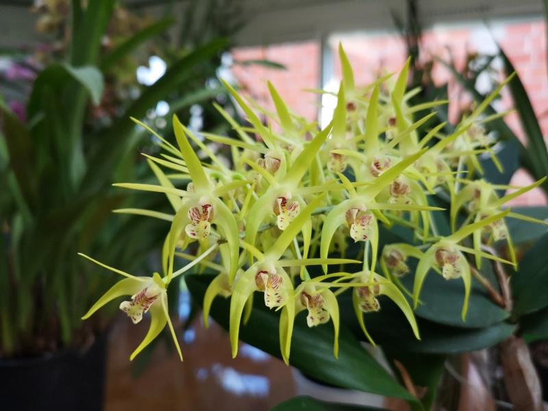 Dendrobium hybride  Img_2433