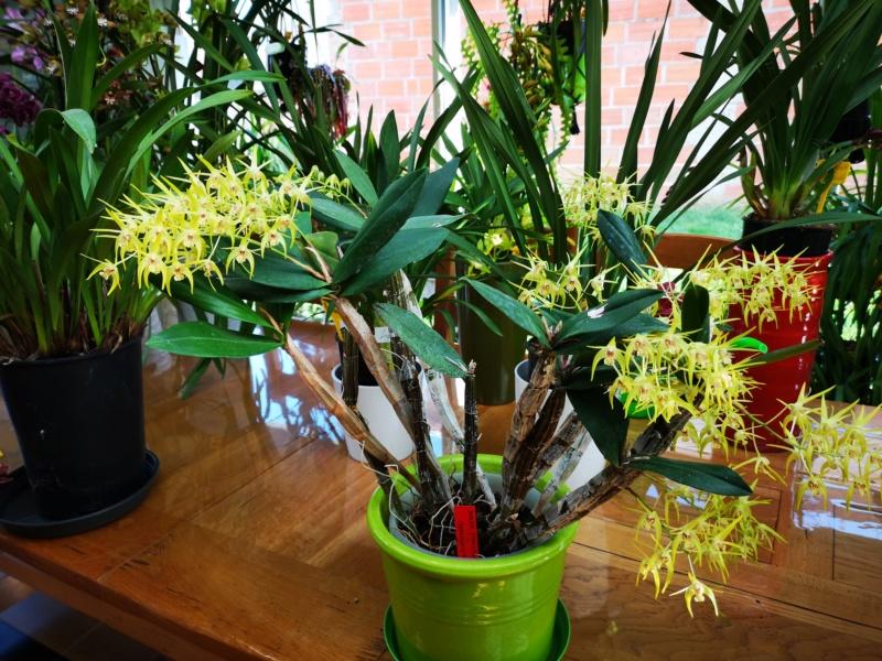 Dendrobium hybride  Img_2434
