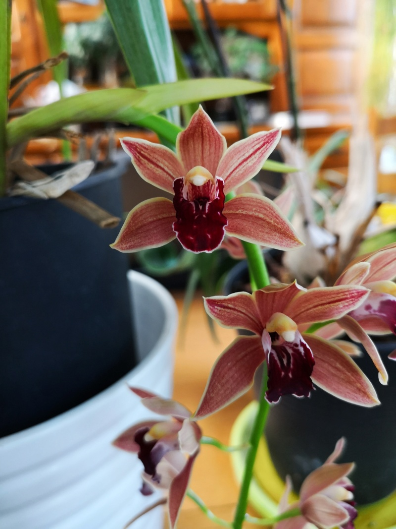 Cymbidium zip Img_2438