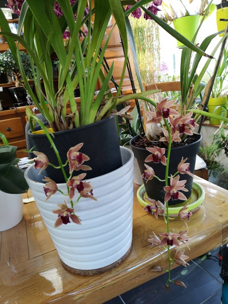 Cymbidium zip Img_2439
