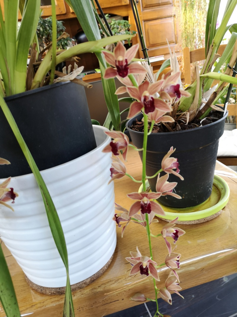Cymbidium zip Img_2440