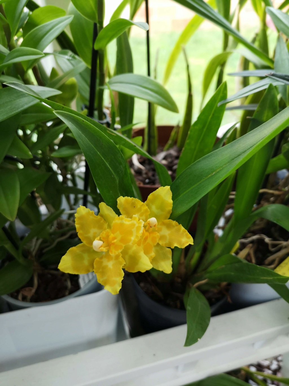 Odontoglossum hybride jaune Img_2455