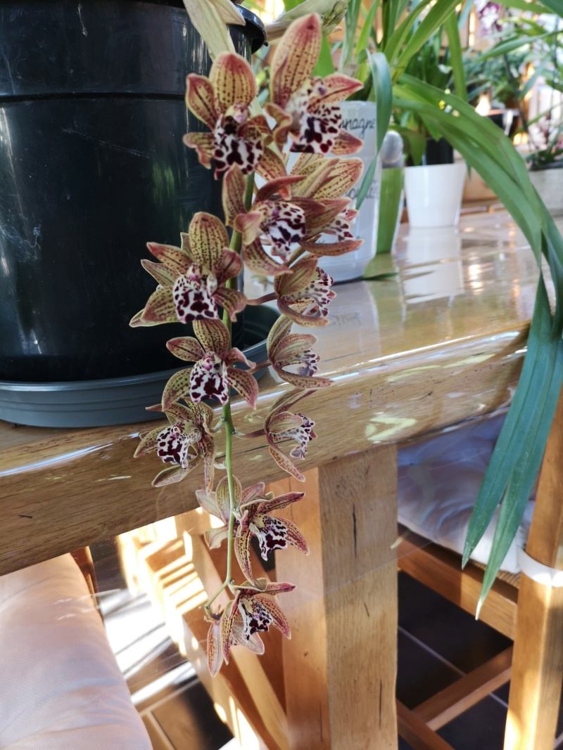 Cymbidium vogel Magic x spotted freak Img_2466