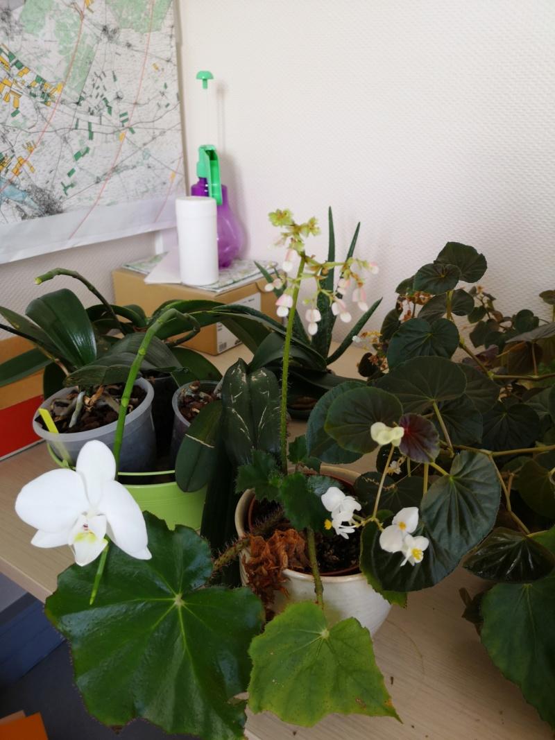 phalaenopsis au bureau - Page 2 Img_2478