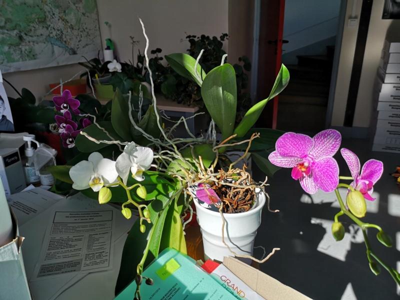 phalaenopsis au bureau - Page 2 Img_2479