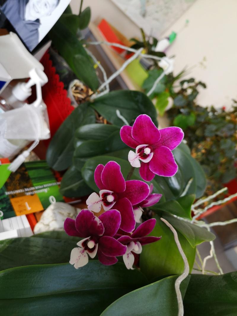 phalaenopsis au bureau - Page 2 Img_2480