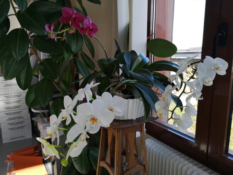 phalaenopsis au bureau - Page 2 Img_2481