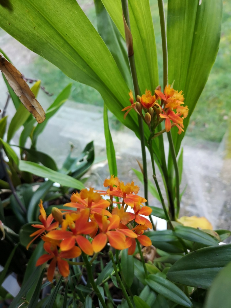 epidendrum orange Img_2489
