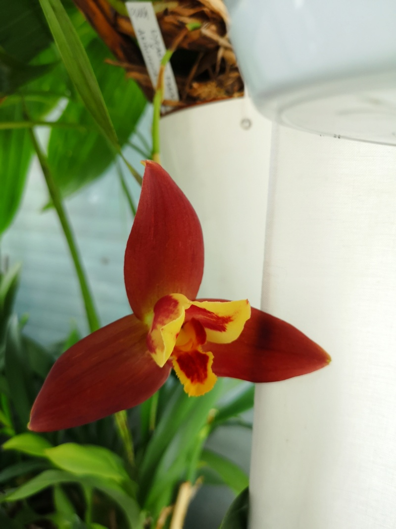 Lycaste macrophylla x Angulocaste red jewel - Page 2 Img_2491