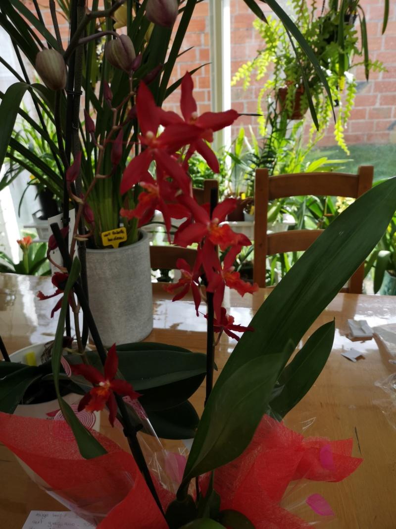 Odontoglossum rouge Img_2494