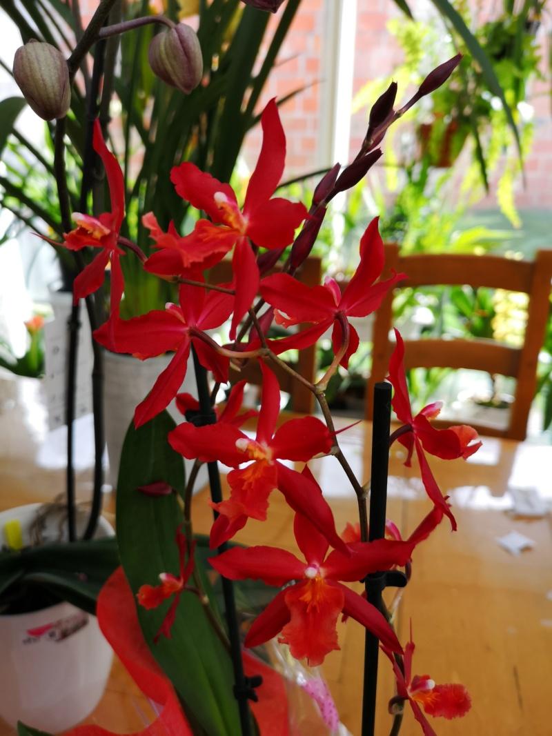 Odontoglossum rouge Img_2495