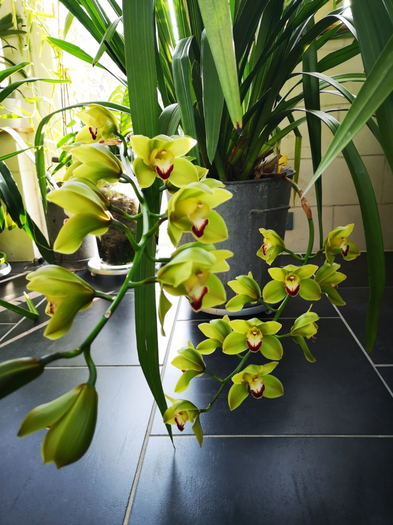 Cymbidium jungle trail Img_2530