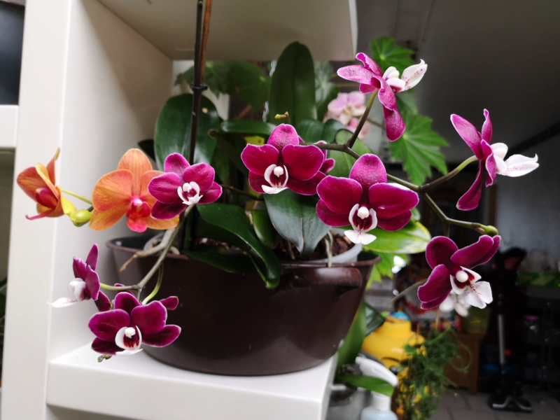 phalaenopsis kaoda Img_2532