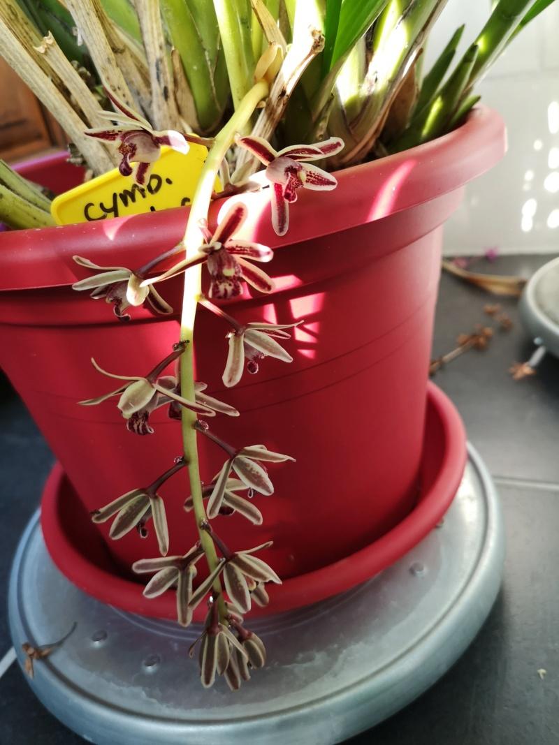 Cymbidium bicolor Img_2552