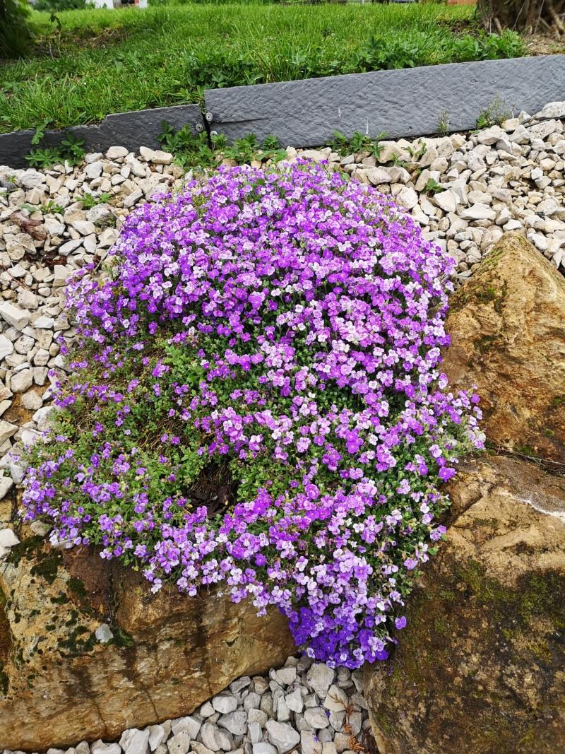 Floraisons du jardin  Img_2561