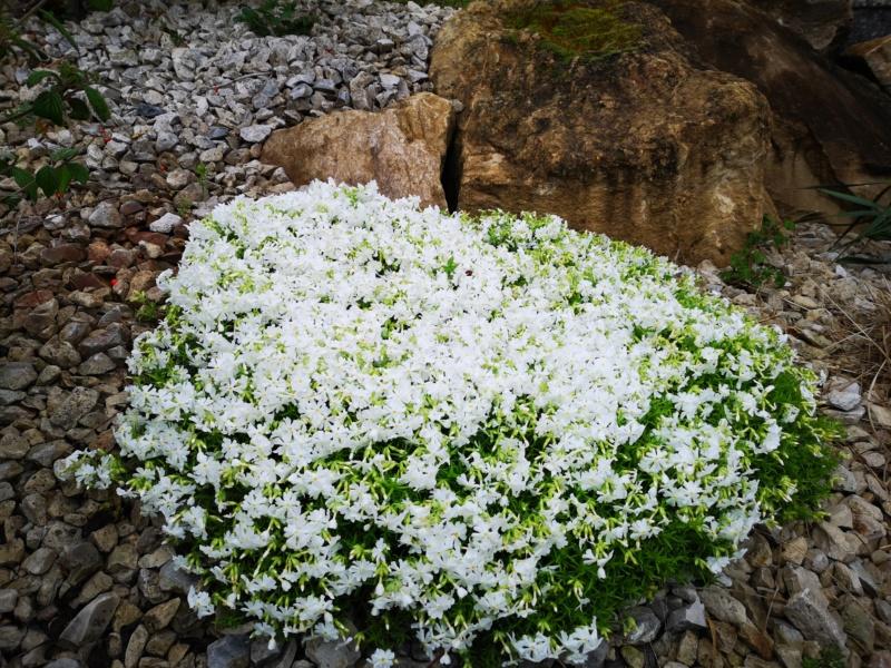 Floraisons du jardin  Img_2562