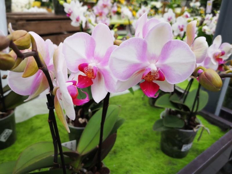Phalaenopsis hybride Img_2563