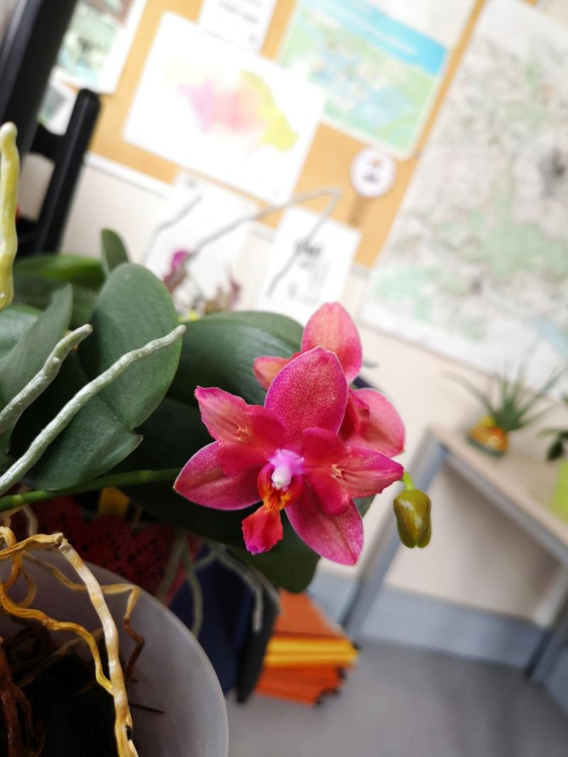 phalaenopsis au bureau - Page 2 Img_2564