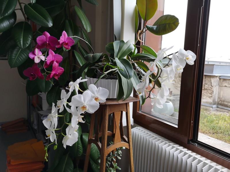 phalaenopsis au bureau - Page 2 Img_2565