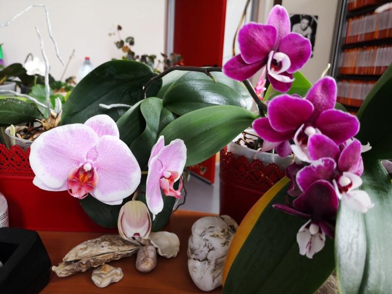 phalaenopsis au bureau - Page 2 Img_2566