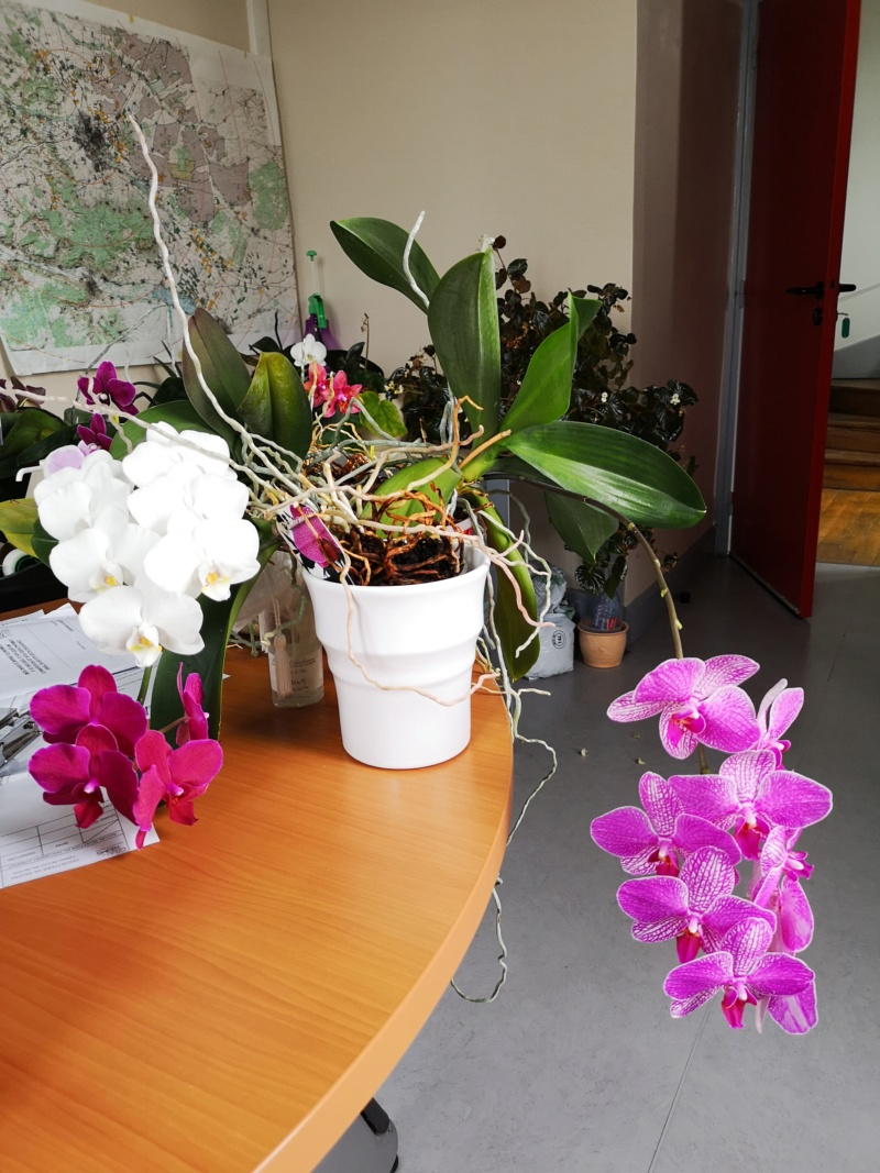 phalaenopsis au bureau - Page 2 Img_2567