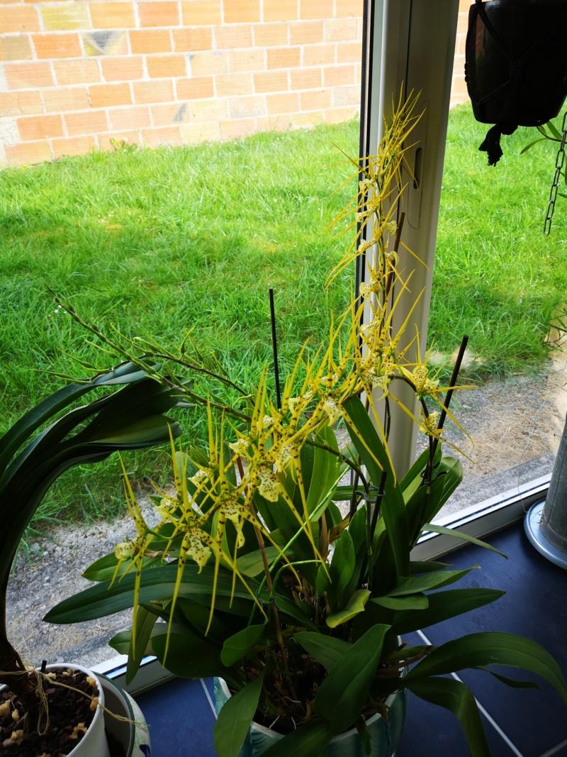 Brassia Le Magnifique - Page 2 Img_2575