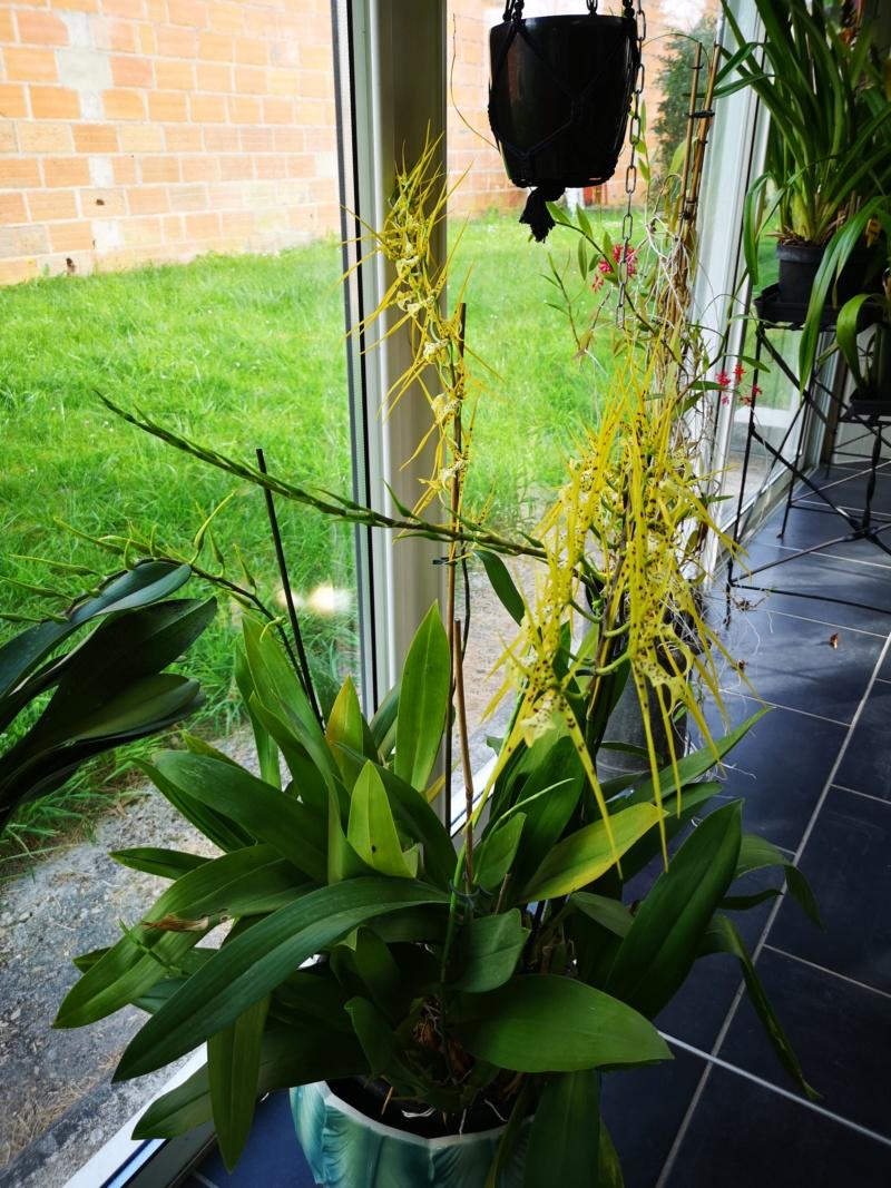 Brassia Le Magnifique - Page 2 Img_2576